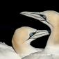Gannets @ troupe head 6-5-19 by