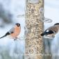 Mr and mrs bullfinch @ whinfell forest jan 2019