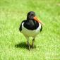 Oyster catcher Castle fraser gardens, may 2016