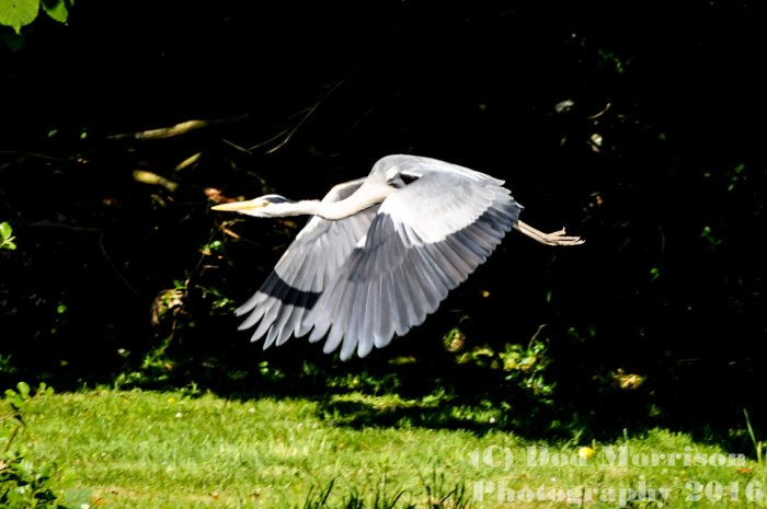 Heron on the DEE 29-5-16 by Dod Morrison Photography (340)