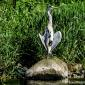 Heron on the DEE 29-5-16 by Dod Morrison Photography (391)