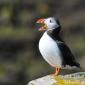 Puffins on Isle of May 28-4-2016