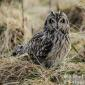 Short eared Owls Aberdeen links Feb 14- 2-16
