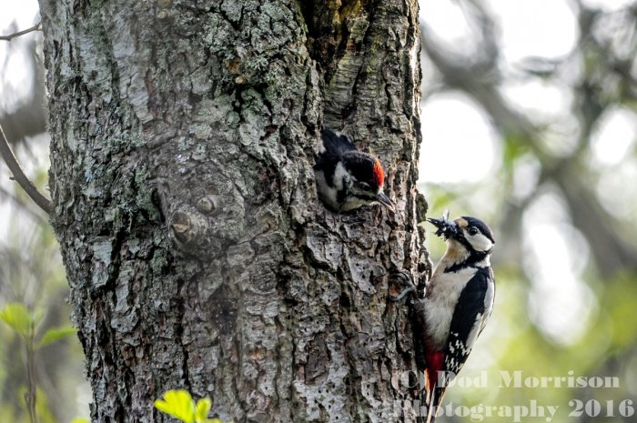 woodpeckers  @ strathbeg 7-6-16